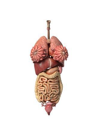 https://imgc.allpostersimages.com/img/posters/3d-rendering-of-healthy-female-internal-organs_u-L-PN8V0W0.jpg?artPerspective=n