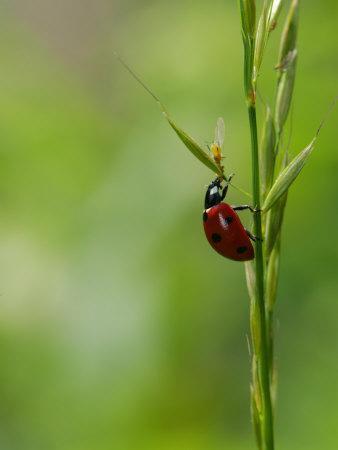 https://imgc.allpostersimages.com/img/posters/7-spot-ladybird-climbing-up-grass-stem-rutland-uk_u-L-Q10QWDQ0.jpg?p=0