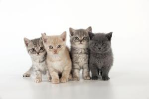 7 Week Old British Shorthair Kittens