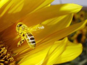 A Bee Covered with Yellow Pollen Approaches the Blossom of a Sunflower July 28, 2004 in Walschleben