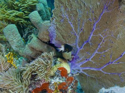 https://imgc.allpostersimages.com/img/posters/a-bi-color-damselfish-amongst-the-coral-reef-key-largo-florida_u-L-PJ39YL0.jpg?artPerspective=n