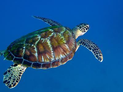 https://imgc.allpostersimages.com/img/posters/a-black-sea-turtle-off-the-coast-of-fiji_u-L-PJ37DQ0.jpg?artPerspective=n