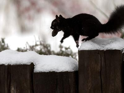 A Black Squirrel Leaps Along a Snow Covered Fence