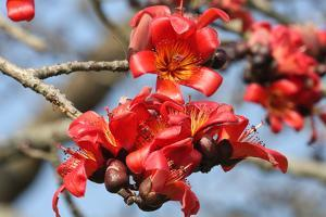 A blossom of red silk cotton flowers (Bombax ceiba) or Shimul (photo)