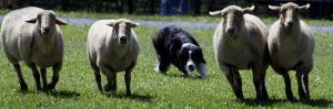 A Border Collie Demonstrates Sheep Herding