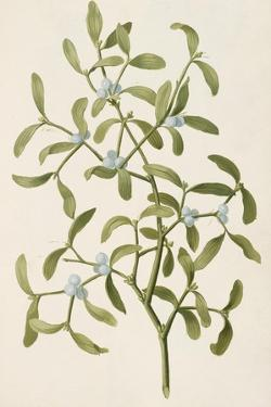 A Botanical Illustration Of a Plant. Mistletoe. a Hemi-parasitic Plant