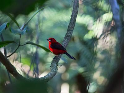 https://imgc.allpostersimages.com/img/posters/a-brazilian-tanager-ramphocelus-bresilius-perches-in-a-tree-with-a-tropical-backdrop_u-L-PU75JZ0.jpg?p=0