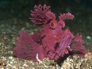 A Bright Pink-Purple Paddle-Flap Scorpionfish on Volcanic Sand, Bali