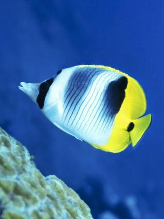 https://imgc.allpostersimages.com/img/posters/a-butterflyfish-swims-up-along-a-coral-reef-papua-new-guinea_u-L-PJ36T20.jpg?artPerspective=n