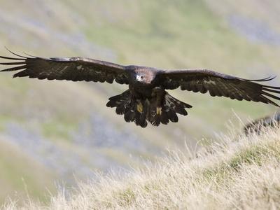 https://imgc.allpostersimages.com/img/posters/a-captive-golden-eagle-aquila-chrysaetos-flying-over-moorland-united-kingdom-europe_u-L-PFNLXP0.jpg?p=0