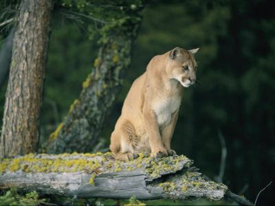 A Captive Male Mountain Lion Sits Atop the Trunk of a Fallen Tree