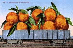 A Carload of Navel Oranges Postcard