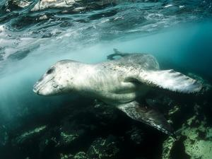 A Close Encounter with a Leopard Seal, Astrolabe Island, Antarctica
