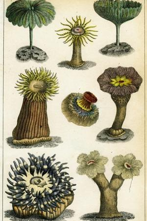 Sea Anemones, C19th Century by A & Co Fullarton