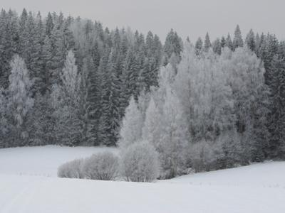 A Cold Forest of Pine Trees Covered in Snow and Frost