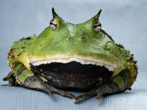 A Colombian Horned Frog