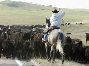 A Cow Hand Drives Cattle