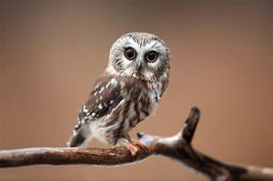 A Curious Saw-Whet Owl