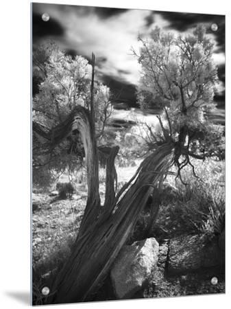 Bent Tree in the Desert, Joshua Tree National Park, California