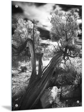 Bent Tree in the Desert, Joshua Tree National Park, California by A.D.