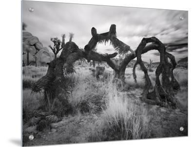 Fallen Joshua Tree, California