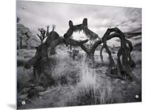 Fallen Joshua Tree, California by A.D.