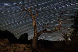 A Dead Pinyon Pine Tree and Star Trails, Joshua Tree National Park, California