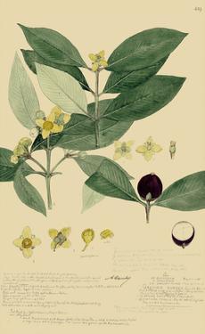 Descubes Foliage & Fruit II by A. Descubes