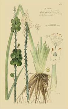Ornamental Grasses VI by A. Descubes