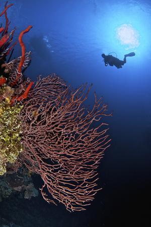 https://imgc.allpostersimages.com/img/posters/a-diver-approaches-a-beautiful-gorgonian-sea-fan-cayman-islands_u-L-PU1TBO0.jpg?p=0