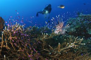 A Diver Looks on at a Lionfish Hovering Above Staghorn Coral, Indonesia