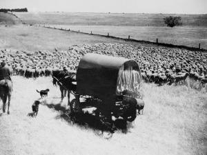 A Drover Travels with His Covered Wagon and Sheep on the Geelong-Baachus Marsh Road