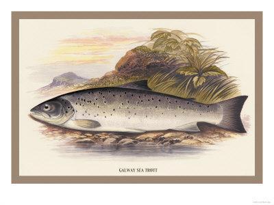 Galaway Sea Trout