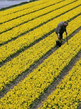 A Farmer Cuts Daffodils