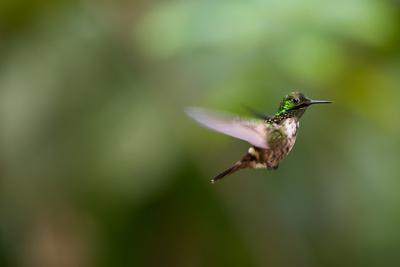 https://imgc.allpostersimages.com/img/posters/a-festive-coquette-lophornis-chalybeus-in-flight-in-the-atlantic-rainforest_u-L-Q135UXQ0.jpg?p=0
