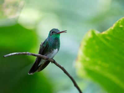 https://imgc.allpostersimages.com/img/posters/a-glittering-throated-emerald-perching-on-twig-in-atlantic-rainforest-brazil_u-L-Q135USS0.jpg?p=0