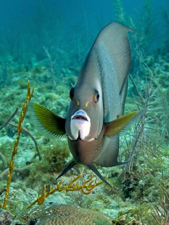 https://imgc.allpostersimages.com/img/posters/a-gray-angelfish-in-the-shallow-waters-off-the-coast-of-key-largo-florida_u-L-PJ39U40.jpg?artPerspective=n