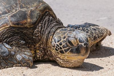 https://imgc.allpostersimages.com/img/posters/a-green-sea-turtle-chelonia-mydas-on-laniakea-beach_u-L-PWFH5P0.jpg?p=0