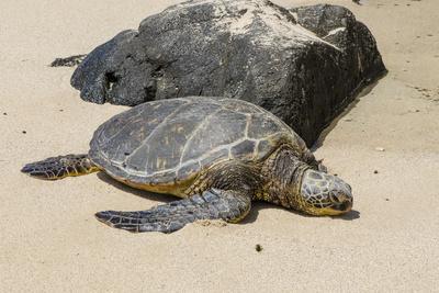 https://imgc.allpostersimages.com/img/posters/a-green-sea-turtle-chelonia-mydas-on-laniakea-beach_u-L-PWFJYF0.jpg?p=0