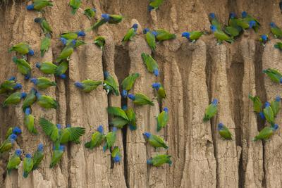 https://imgc.allpostersimages.com/img/posters/a-group-of-blue-headed-parrots-cling-to-clay-cliffs-peru-amazon-basin_u-L-Q1D0DFV0.jpg?p=0