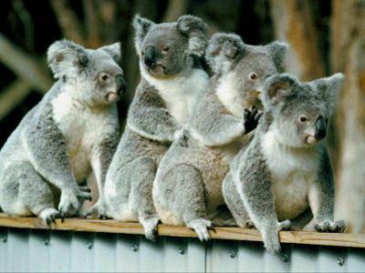 A Group of Koalas Gather Atop a Fence