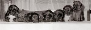 A Group of of Eight 18 Month Old Black Labrador Puppies, December 1968
