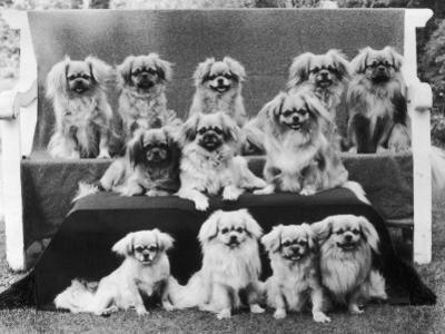 A Group of Twelve Braeduke Tibetan Spaniels Sit for a Group Photograph. Owned by Wynyard
