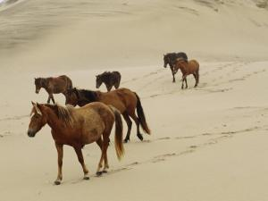 A Group of Wild Horses in the Dunes of Sable Island