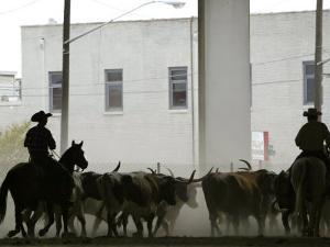 A Herd of Longhorn Cattle is Rounded up to Go Through Downtown Dallas