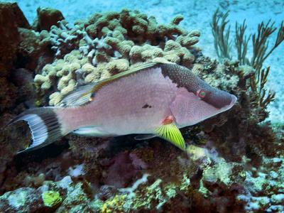https://imgc.allpostersimages.com/img/posters/a-hogfish-swimming-above-a-coral-reef_u-L-PJ38DX0.jpg?artPerspective=n