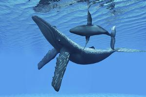 A Humpback Whale Calf Swims around its Mother in the Ocean
