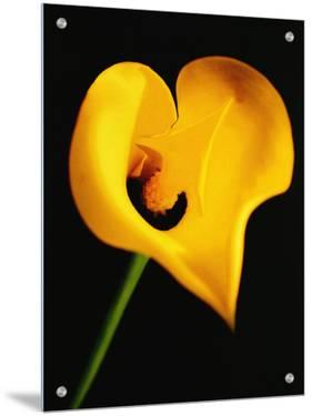 A Yellow Lily with an Arrow as the Stigma by A.K.A