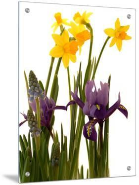Spring Flowers: Daffodils, Iris and Muscari by A.K.A