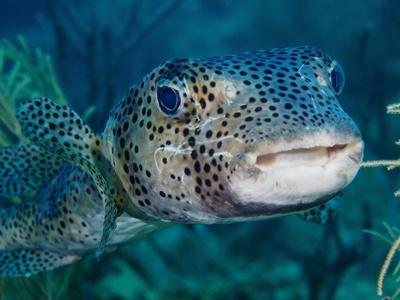https://imgc.allpostersimages.com/img/posters/a-large-spotted-pufferfish_u-L-PJ39VE0.jpg?artPerspective=n